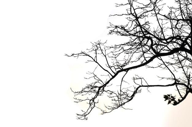 Les branches mortes isolent sur blanc. chemin de détourage.