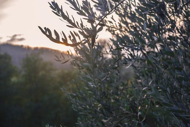 Branches d'olivier au coucher du soleil prises en contre-jour qui donne la silhouette