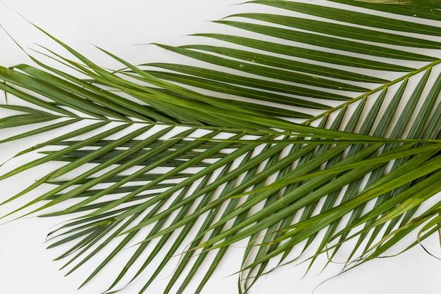 Branches de palmier vert