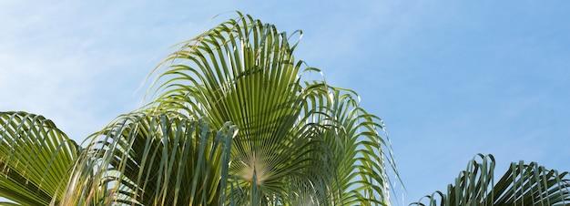 Branches de palmiers dattiers sous ciel bleu en été