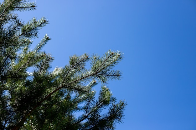 Branches de pin abattues. branches de pin sur le fond de ciel bleu.