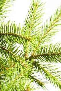 Des branches de pin blanc à feuillage persistant