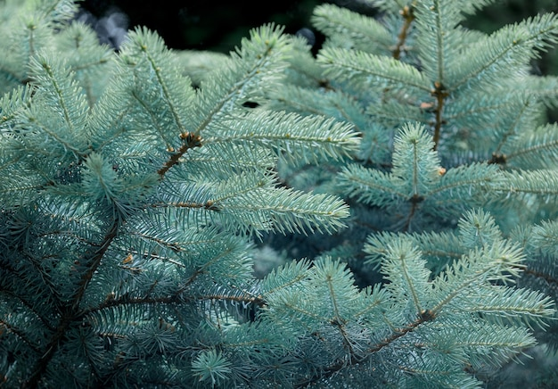 Branches de pin bleu dans un parc.