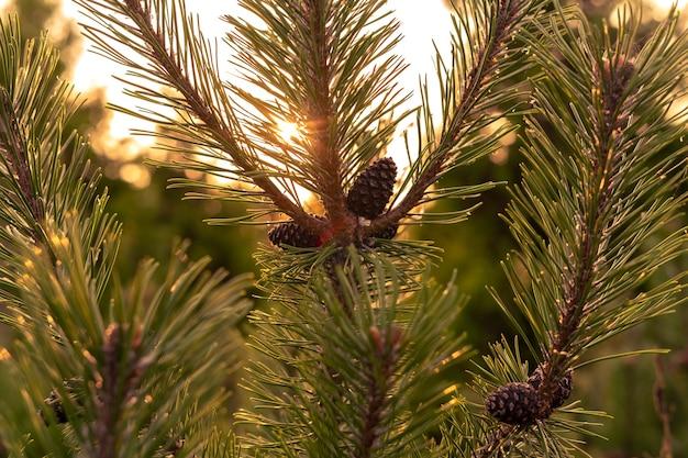 Branches de pin avec des cônes dans la lumière du coucher du soleil