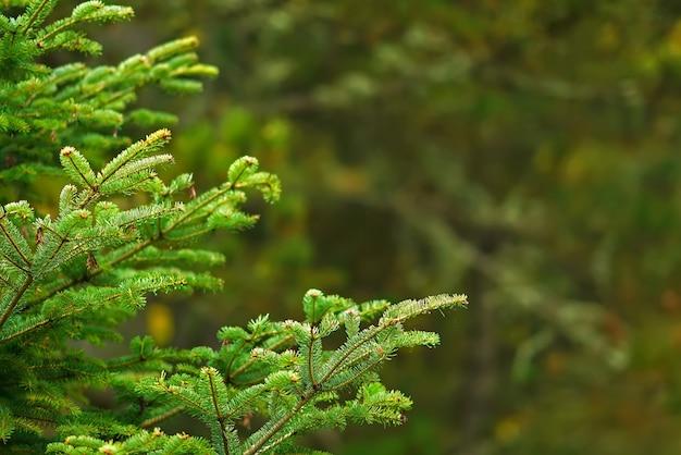 Branches de pin sur fond flou de bokeh