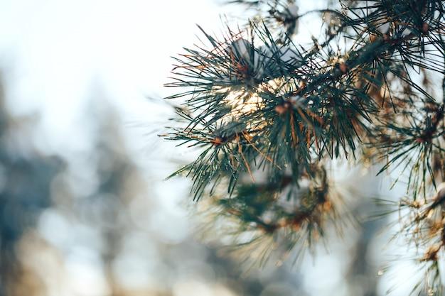 Branches de pin recouvertes de givre