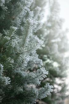 Branches de pin vert couvertes de givre dans la forêt d'hiver