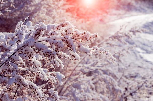 Branches de plantes couvertes de neige au coucher du soleil. vue d'hiver avec des plantes enneigées