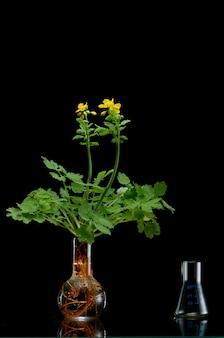 Branches de plantes fraîches dans des flacons médicaux sur fond noir