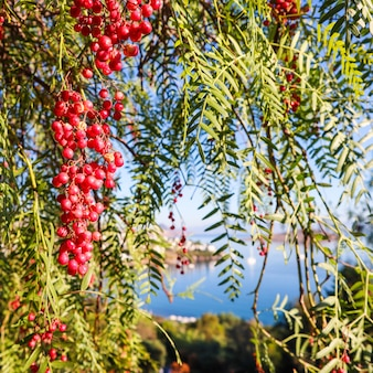 Branches de poivre brésilien schinus terebinthifolius ou aroeira ou rose avec des fruits sur fond