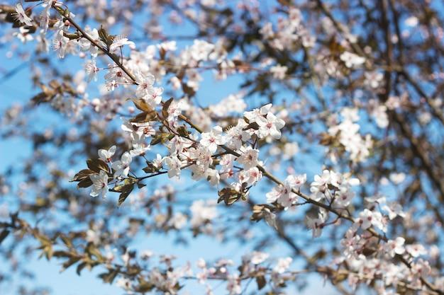 Branches de prune cerise à fleurs blanches et jeunes feuilles, concept de printemps.