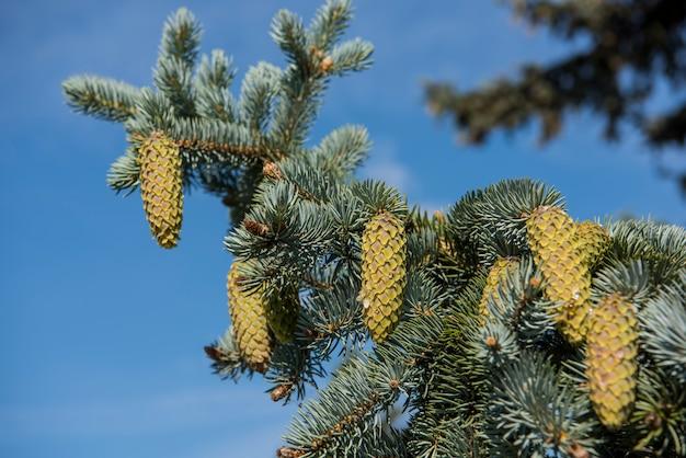 Branches de sapin avec des cônes sur fond de ciel bleu.