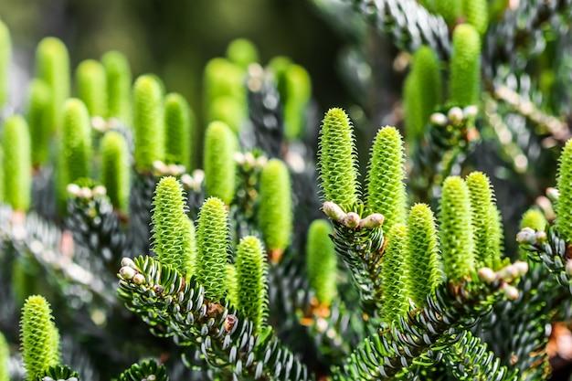 Branches de sapin coréen avec de jeunes cônes dans un jardin de printemps