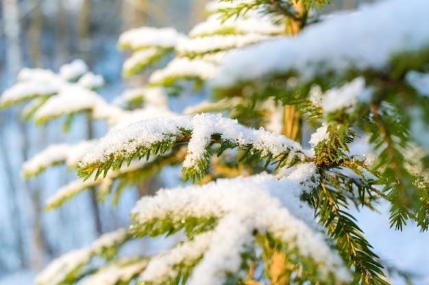 Branches de sapin couvertes de neige fraîche, avec des gouttelettes de glace gelées. forêt d'hiver.