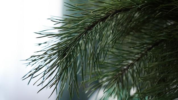 Branches de sapin frais sur un arrière-plan flou léger.
