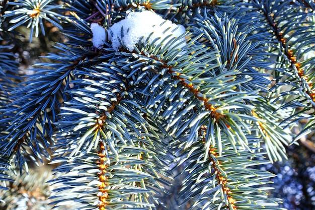 Branches de sapin d'hiver dans la neige par journée ensoleillée se bouchent