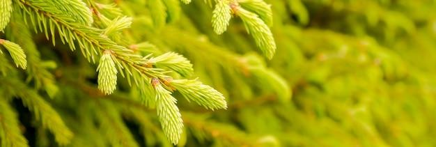 Branches de sapin avec des pousses fraîches au printemps. jeunes pousses vertes d'épinette au printemps.
