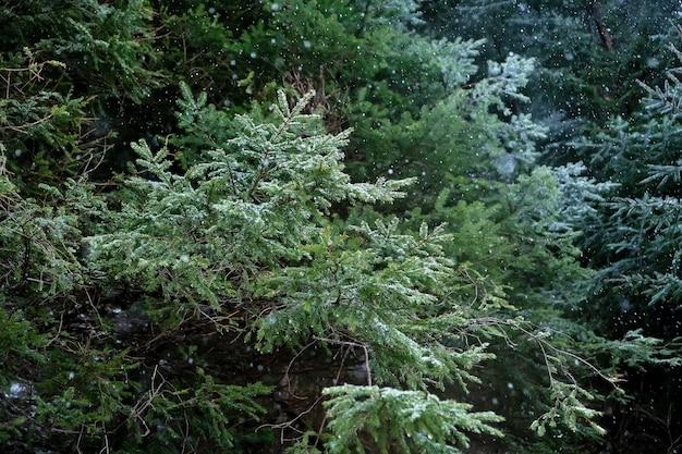 Branches de sapin se bouchent