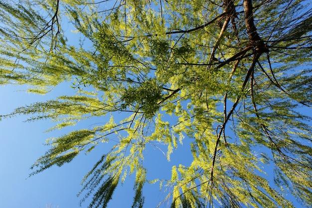 Branches de saule de babylone sous le ciel bleu