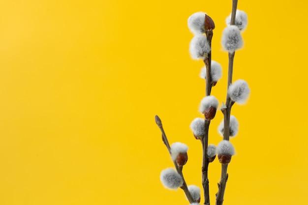 Branches de saule avec des bourgeons gris moelleux sur fond jaune