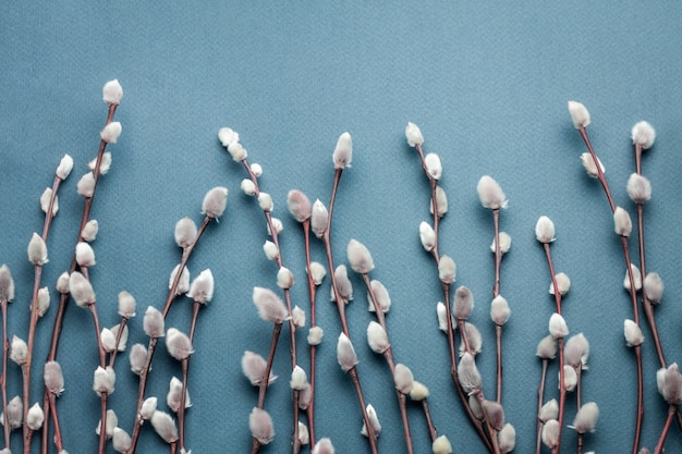 Branches de saule chatte printemps sur bleu