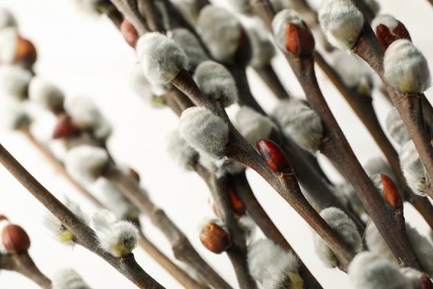 Branches de saule discolore avec chatons sur surface blanche