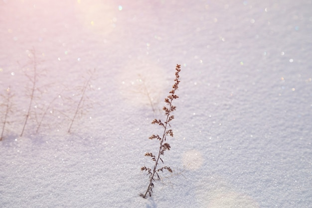 Des branches sèches d'absinthe projettent une ombre sur la couverture neigeuse au coucher du soleil