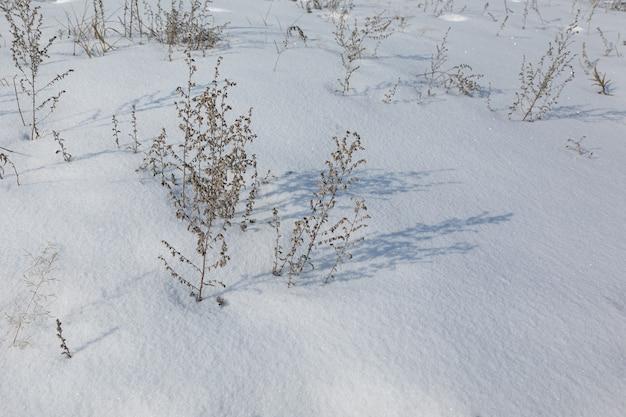 Des branches sèches d'absinthe projettent une ombre sur la couverture neigeuse