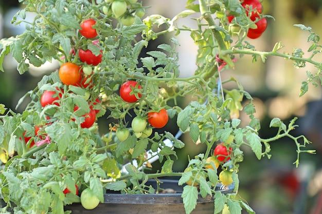 Branches de tomates cerises