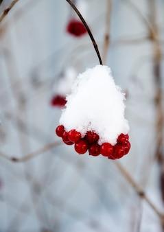 Branches de viorne sous la neige. des grappes de viorne rouge parsemées de neige