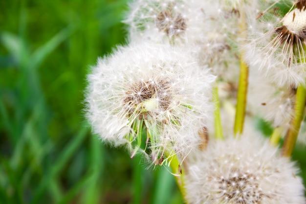 Brassée de têtes de pissenlit blanc sur une verte prairie d'été par temps clair