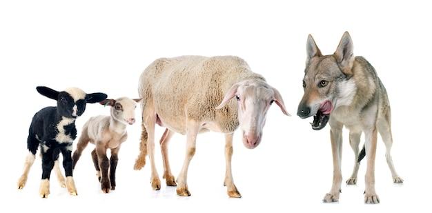 Brebis, agneaux et loup
