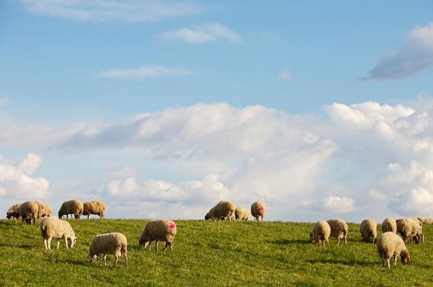 Brebis mangeant dans le champ sous le ciel bleu
