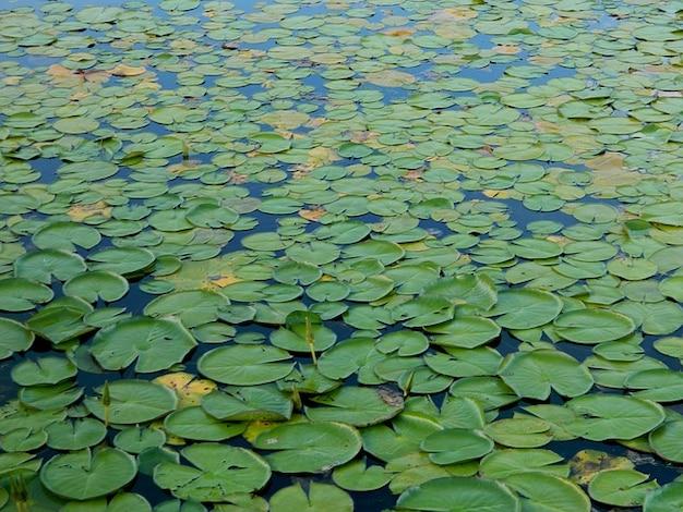 Brésil usine aquatica étang amazonie