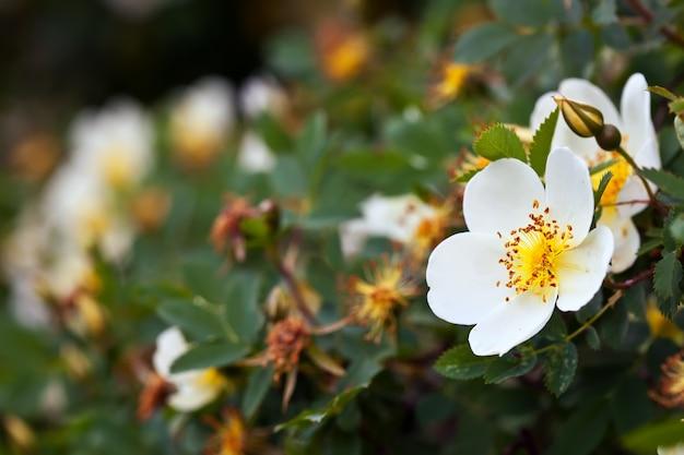 Brier fleurs avec fond