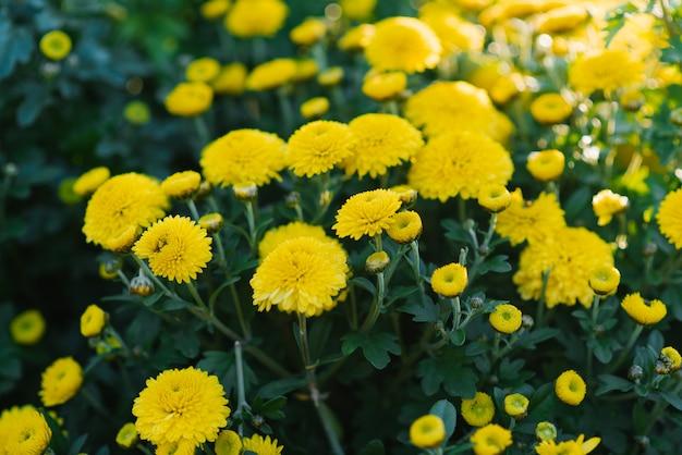 Brillantes belles fleurs de chrysanthèmes jaunes qui poussent dans le jardin par une journée ensoleillée