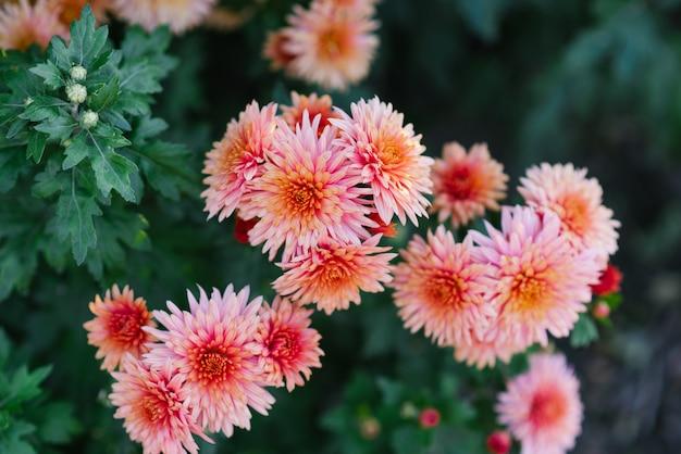 Brillantes belles fleurs de chrysanthèmes roses qui poussent dans le jardin par une journée ensoleillée