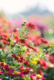 Brillantes belles fleurs de chrysanthèmes rouges qui poussent dans le jardin par une journée ensoleillée