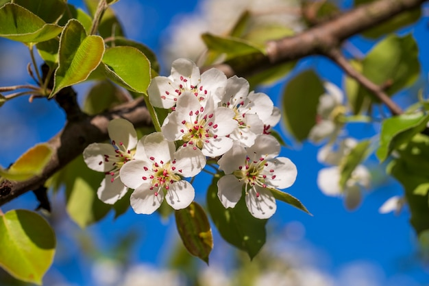 Brin de fleurs blanches fleurit sur un poirier contre un ciel bleu, gros plan