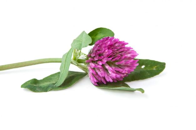 Brin vert de trèfle en fleurs