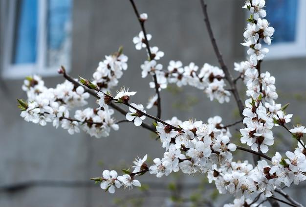 Brindille de cerisier en fleurs (sur maison avec fond de fenêtres ouvertes)