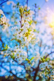 Brindille de cerisier avec mur floral fleurs épanouies