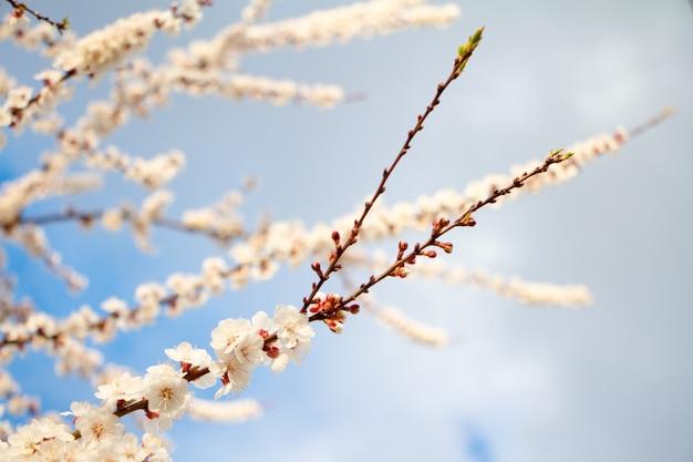 Brindille en fleurs d'abricotier avec un ciel bleu en arrière-plan
