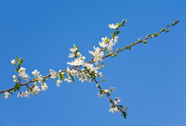 Brindille en fleurs de cerisier (sur arbre en fleurs et fond de ciel)