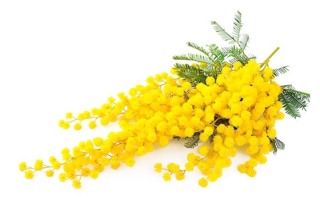 Brindille de fleurs de mimosa isolé sur blanc