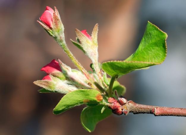 Brindille de floraison printanière de pommier avec des fleurs