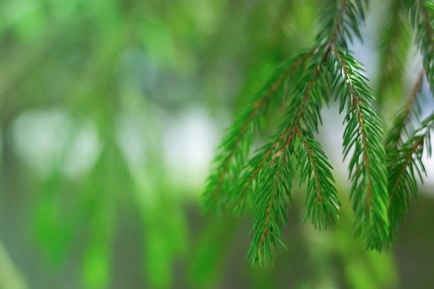 Brindille de sapin naturel sur fond flou vert