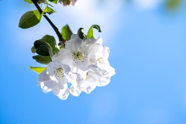 Brindilles d'arbres fruitiers avec des fleurs de pétales blanches et roses en fleurs dans le jardin de printemps.