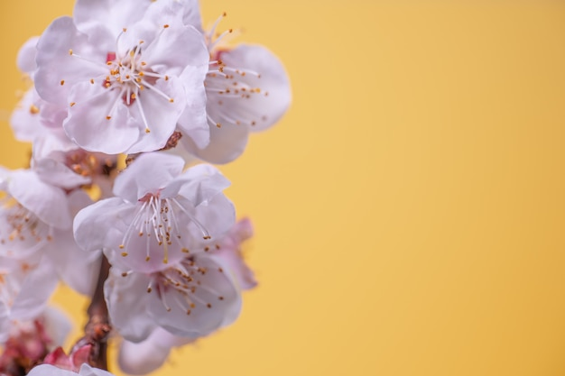 Brindilles de cerisier en fleurs sur une surface jaune