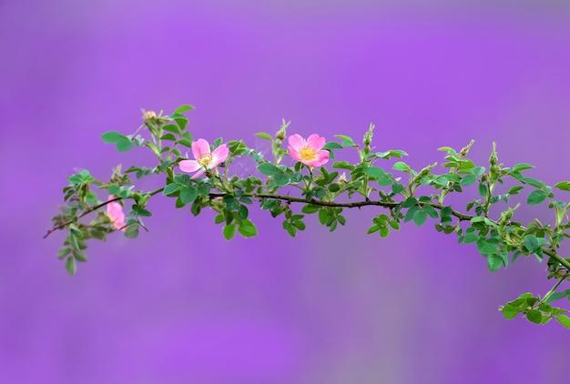 Des brindilles d'églantier à fleurs roses filmées
